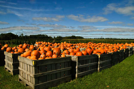 Many crates full of bright orange pumpkins, lined up on green grass with corn field and blue sky in background.