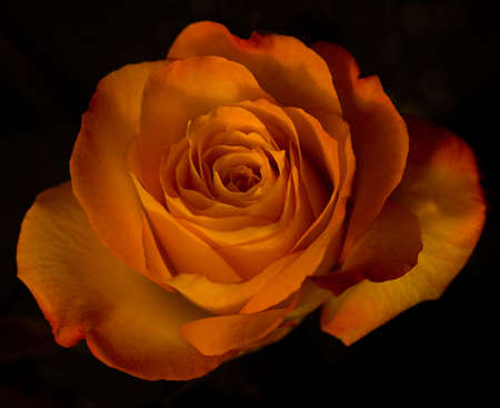 Closeup of a yellow rose with peachy-orange petal tips isolated on black background.