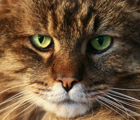 Closeup portrait of sidelit cat's face, showing details of fur and eyes. 版權商用圖片
