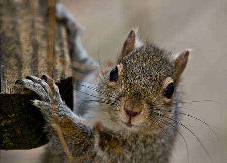 Closeup of a squirrel's face looking into the camera and hanging by its front paws. 写真素材