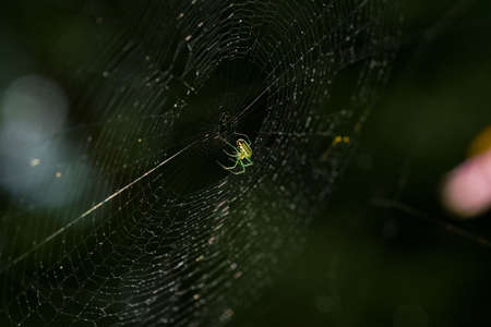 Macro shot of a green orchard spider hanging from the bottom of its orb-shaped, meticulously designed web. 写真素材
