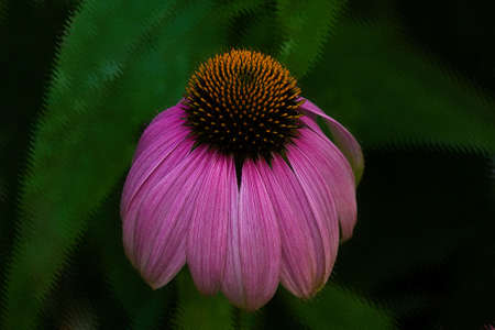 Single magenta bloom of the Echinacea (Cone Flower) plant on a blurred green background with filters added to give it a painterly effect.