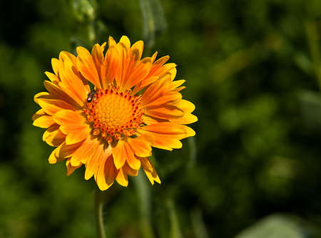 centered: Bright, detailed orange and yellow bloom of a gaillardia flower (blanket flower) - centered, with an insect in the upper left third of the frame. Stock Photo