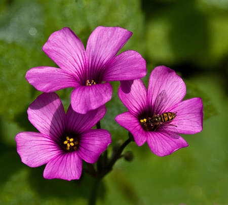 Three bright pinkmagenta blooms of the Oxalis Crasipes plant, with a bee on one bloom.