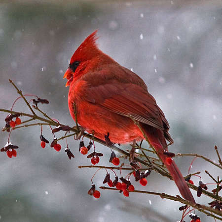 Male Red Cardinal perched on a branch of a red berry bush in the snow -- with a red berry in his beak.