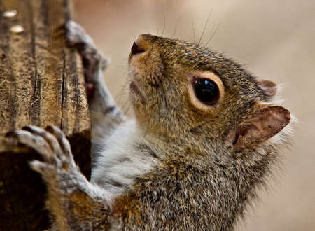Detailed closeup profile of a squirrel's head, shoulders and paws.