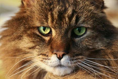 Closeup of beautiful classic Maine Coon cat's face.