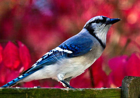 Blue Jay in autumn on a background of a blurred red euonymous bush. 写真素材