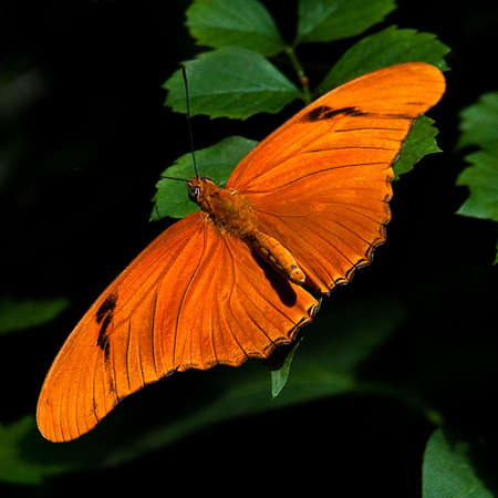Closeup macro shot of a beautiful, orange and black butterfly on deep green leaves with his wings fully spread - viewed from above . 写真素材