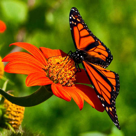 viewed from behind: Closeup macro shot of a beautiful, orange and black male Monarch butterfly on an orange flower with his wings fully spread - viewed from behind. Stock Photo