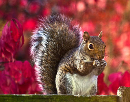 Detailed shot of a squirrel in autumn with a blurred red euonymous bush background.
