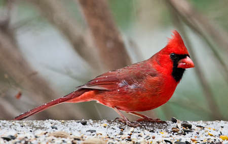 Image of red male Cardinal perched on a platform in the snow 写真素材
