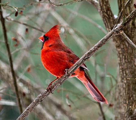 빨간색 남성 추기경의 이미지 나 눈이 대각선 분기에 자리 잡고있다. 스톡 콘텐츠