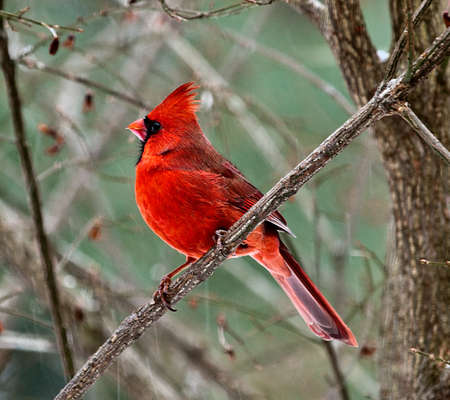 Image of red male Cardinal perched on a diagonal branch i the snow.