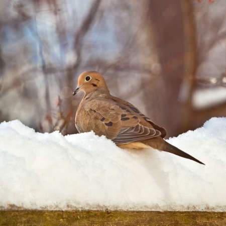 Mourning Dove perched on a pile of snow with blurred background.