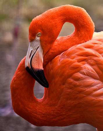 Side view of colorful flamingo with neck twisted into the shape of an 8 写真素材