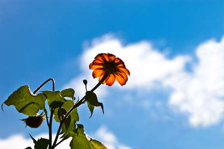 Closeup underside view of a mexican sunflower bloom on a background of white clouds on blue sky.