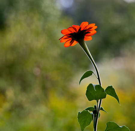 Closeup under side view of a mexican sunflower bloom on a blurred green background. 写真素材