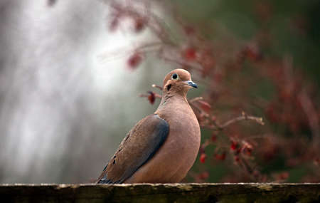 Mourning dove perched on wooden platform with blurred green, white and red berries in background.