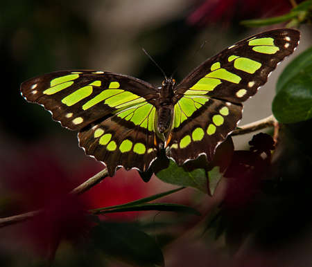 Closeup of a Malachite Butterfly perched on a stem with blurred green and red background.