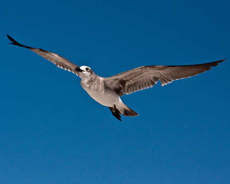 Detailed closeup photo of a sea gull in flight on deep blue, cloudless sky.