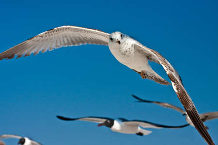 Detailed closeup photo of sea gulls in flight on deep blue, cloudless sky. 写真素材