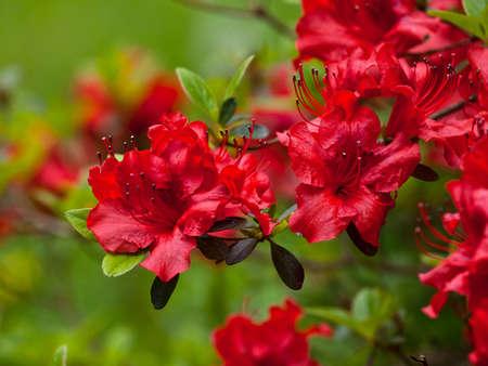 Gros plan détaillé de la prolifération des azalées rouges (Rhododendron, Pentanthera) sur un fond vert brouillé.