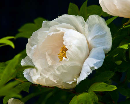tree peony: Detailed closeup of a soft, white, tree peony bloom(Paeonia_suffruticosa) on a blurred green background.