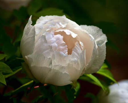 Detailed closeup of a soft, white, tree peony bloom(Paeonia_suffruticosa) on a blurred green background.