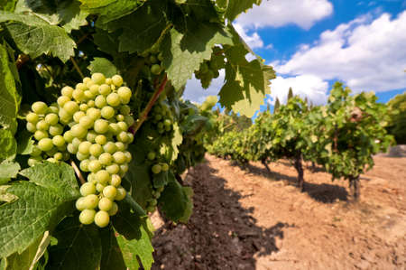 vinery: Vineyard with green grapes Stock Photo
