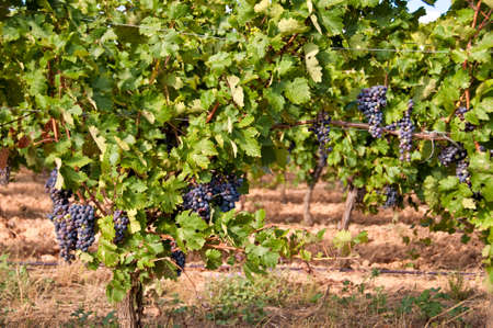 wineyard: Vineyard with black grapes Stock Photo