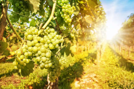 wineyard: Close up on green grapes in a vineyard with sunshine Stock Photo