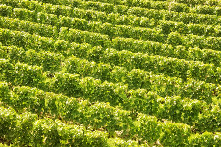 vinery: Background of vine stocks in a vineyard