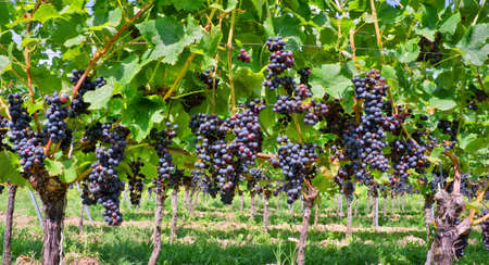 vinery: Close up on red black grapes in a vineyard