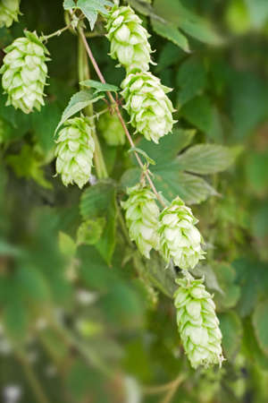 humulus lupulus: Close up of hop (humulus lupulus), cultivated to make bier