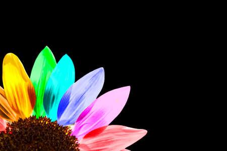 Close-up van een regenboog gekleurde zonnebloem geïsoleerd op zwart Stockfoto