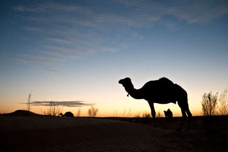Silhouette of a camel at sunset in the desert of Sahara, South Tunisia photo