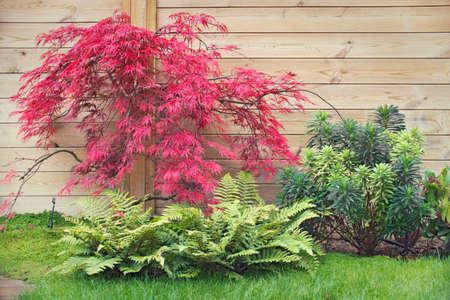 Rode Japanse esdoorn in een Zen-tuin Stockfoto