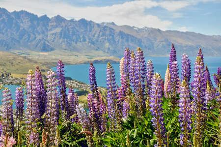 lupine: Wakatipu lake, near Queenstown, lupines flower, New Zealand