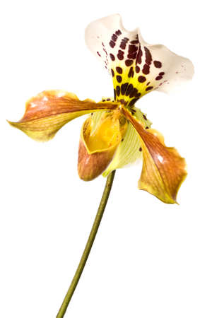 lady slipper: Yellow Lady slipper (paphiopedilum) orchid, close-up isolated on white background