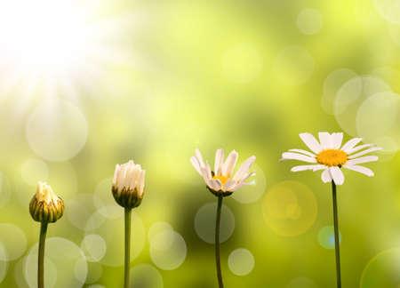 緑の自然の背景にヒナギクの成長の段階