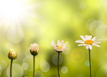life stages: Daisies on green nature background, stages of growth