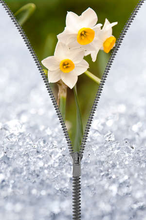 revealing: Zipper revealing narcissus under the snow