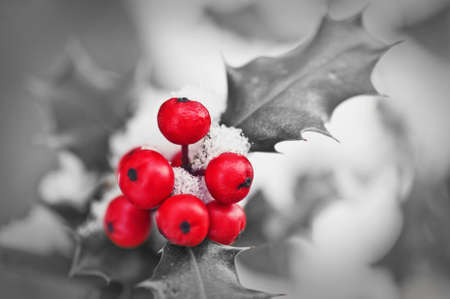 holly leaves: Close up od a branch of holly with red berries covered with snow in black and white with selective color red