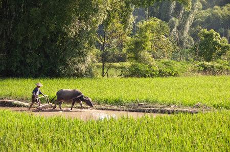 water buffalo: Chinese farmer and his buffalo working in a rice field, Yanshuo, Guangxi, China Editorial