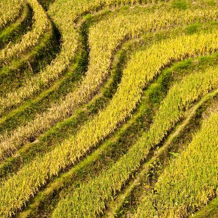 terraced: Terraced rice fields near Guilin, Guangxi, China