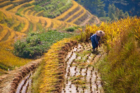 guilin: Farmer working in a terraced paddy rice field during harvest, Guangxi, China Stock Photo