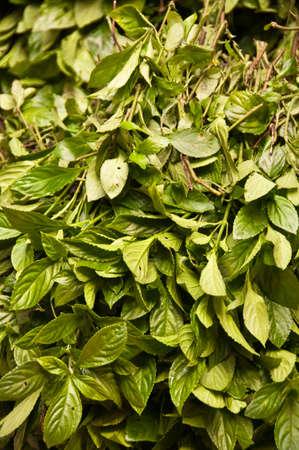 indigo: Green leaves for natural indigo dye, China