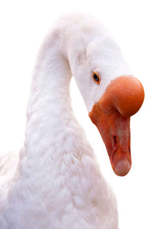 goose head: Close-up of a domestic goose head isolated on white background