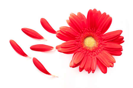 daisy flower: Red daisy flower with some petals off isolated on white background